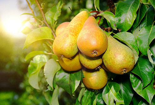 nutri-book.gr_which-fruits-have-the-most-sugar_pears